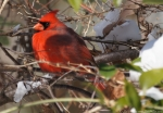 West Mountain Oak Trail Male Cardinal Snow