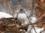 West Mountain Trail Female Junco