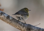West Mountain Trail Male Pine Warbler