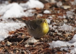 West Mountain Oak Trail Male Pine Warbler