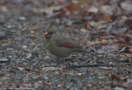 Short Cut Trail Female Cardinal Fog