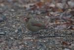 Short Cut Trail Female Cardinal Fog