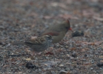 Short Cut Trail Female Cardinal Sparrow Fog
