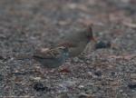 Short Cut Trail Female Cardinal Sparrow Fog