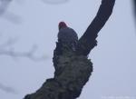 Short Cut Red-Bellied Woodpeck in Fog