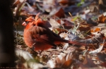 Dead Chief Trail Male Cardinal with ruffled feathers