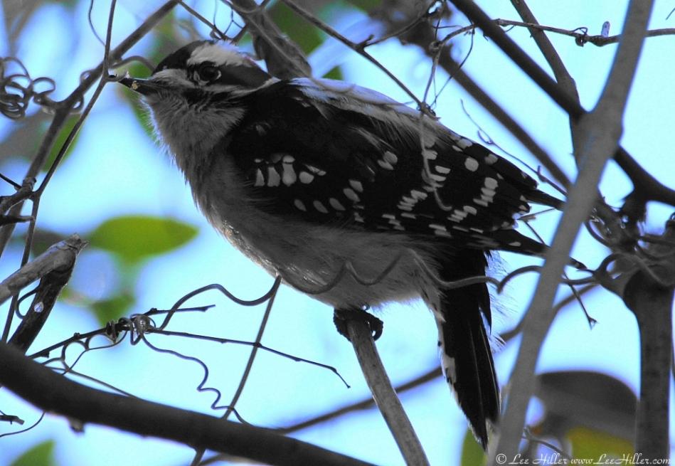 Dead Chief Trail Male Downy Woodpecker