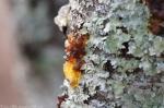 Goat Rock Trail Tree Sap?