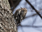 Hot Springs Mountain Trail Juvenile Yellow-Bellied Sapsucker