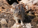 North Mountain Chipmunks