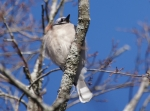 Peak Trail Blue Jay Chick
