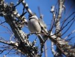 Peak Trail Carolina Chickadee