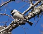 Peak Trail Carolina Chickadee