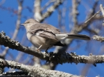 Peak Trail Northern Mockingbird
