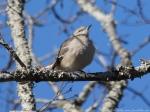 Peak Trail Northern Mockingbird