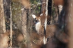 Peak Trail Whitetail Deer Doe