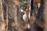 Peak Trail Whitetail Deer Doe