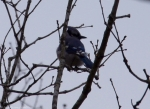 HSNP Sunset Trail Fordyce Estate Blue Jay