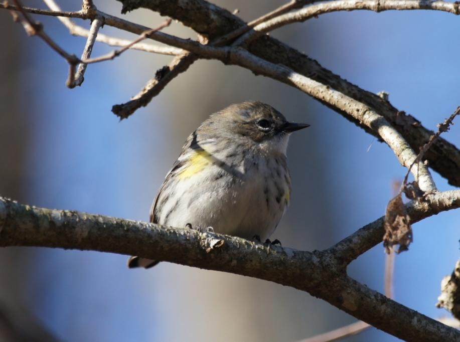 West Mountain Canyon Trail Yellow Rumped Warbler