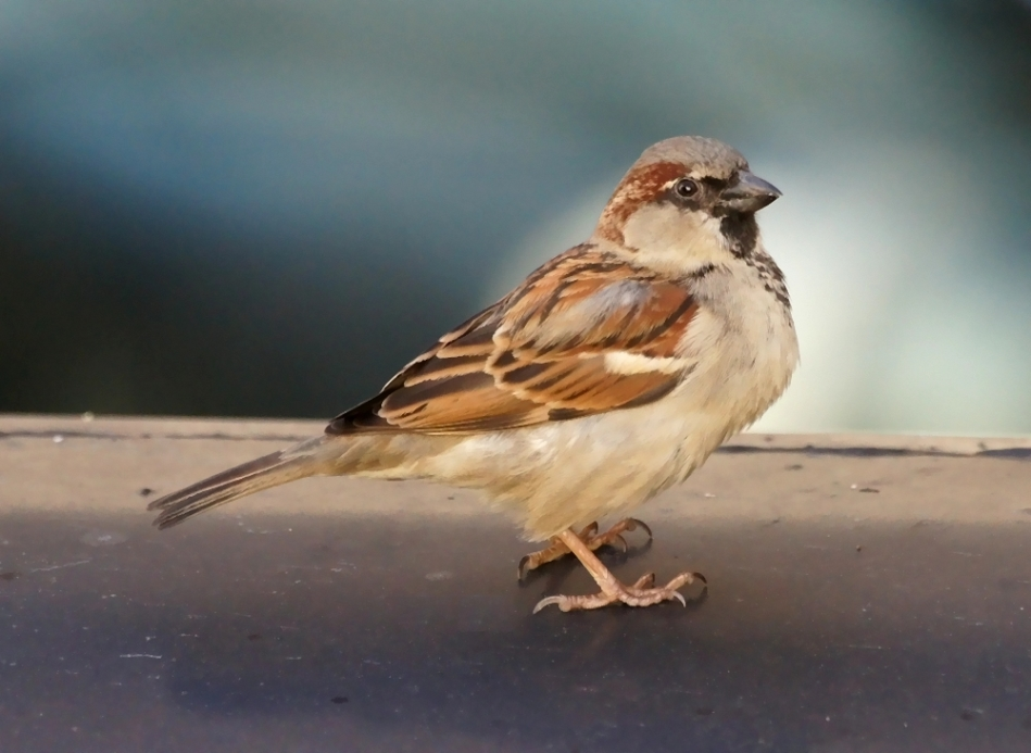 West Mountain Male House Sparrow