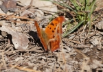 Lake Ouachita State Park Question Mark Butterfly
