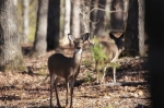 Lake Ouachita State Park Whitetail Deer Doe
