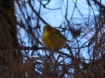 Lake Ouachita State Park Caddo Trail Pine Warbler