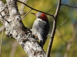 Lake Ouachita State Park Caddo Trail Red-Bellied Woodpecker
