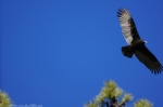 Lake Ouachita State Park Caddo Trail Turkey Vulture