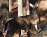 Lake Ouachita State Park Caddo Trail Whitetail Deer