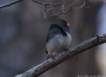 Lake Ouachita State Park Caddo Bend Trail Junco