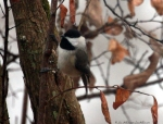 Hot Springs Mountain Trail Fog Black-Capped Chickadee