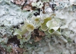 Upper Dogwood Trail Lichen