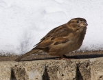 Arlington Lawn Female House Sparrow Snow