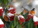 Arlington Lawn American Robin Snow