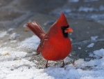 Entrance Male Cardinal in Snow