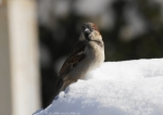 Entrance Male House Sparrow Snow