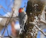 Hot Springs Mountain Trail Red-Bellied Woodpecker Snow