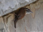 Hot Springs Mountain Road Entrance Carolina Wren