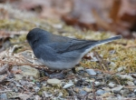 Hot Springs Mountain Road Entrance Junco