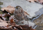 Hot Springs Mountain Road White-Throated Sparrow