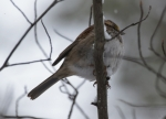 Hot Springs Mountain Trail Snow Sparrow