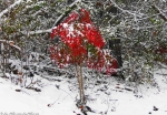 Hot Springs Mountain Trail Snow RED Bush