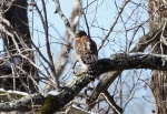 Hot Springs National Park Ricks Pond Red Shouldered Hawk