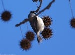 HSNP Sweet Gum Black-Capped Chickadee