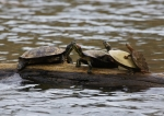 Hot Springs National Park Ricks Pond Turtles