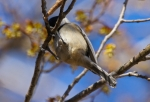 West Mountain Canyon Trail Black-Capped Chickadee