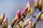 Arlington Lawn Saucer Magnolia Buds