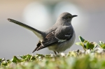 Promenade Stairs Northern Mockingbird