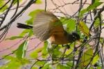 Promenade American Robin